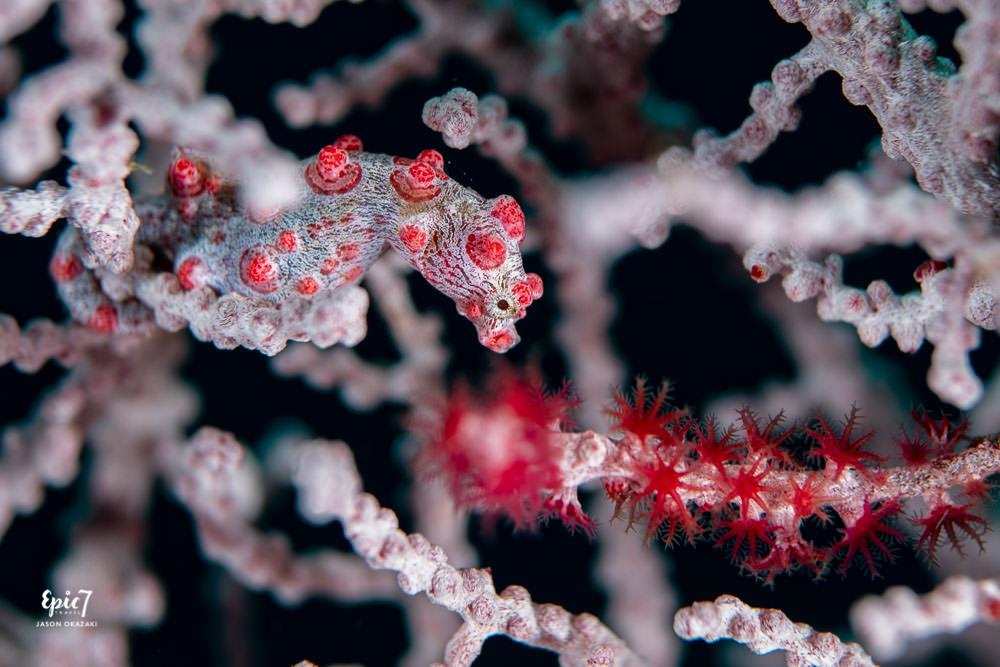 hippocampus bargibanti pygmy seahorse raja ampat diving