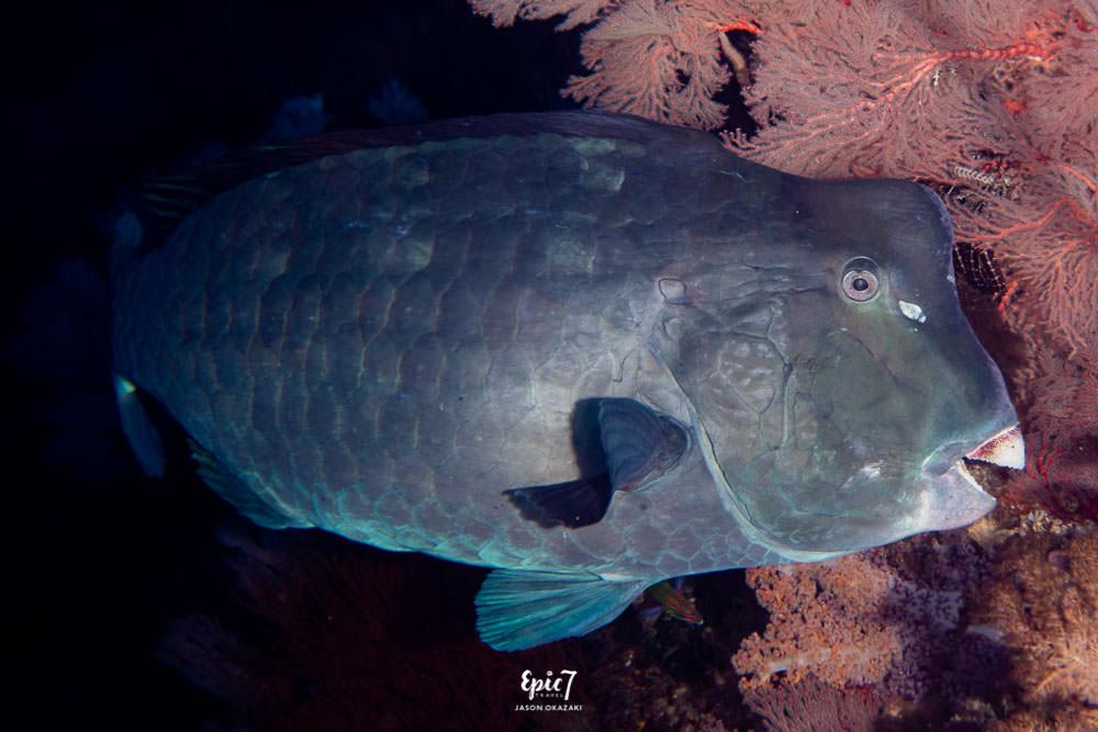 humphead parrotfish raja ampat