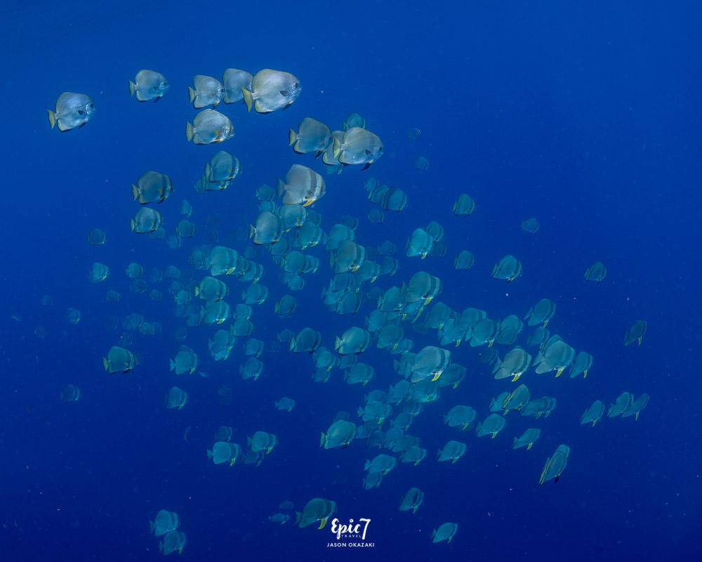hundreds of schooling batfish raja ampat