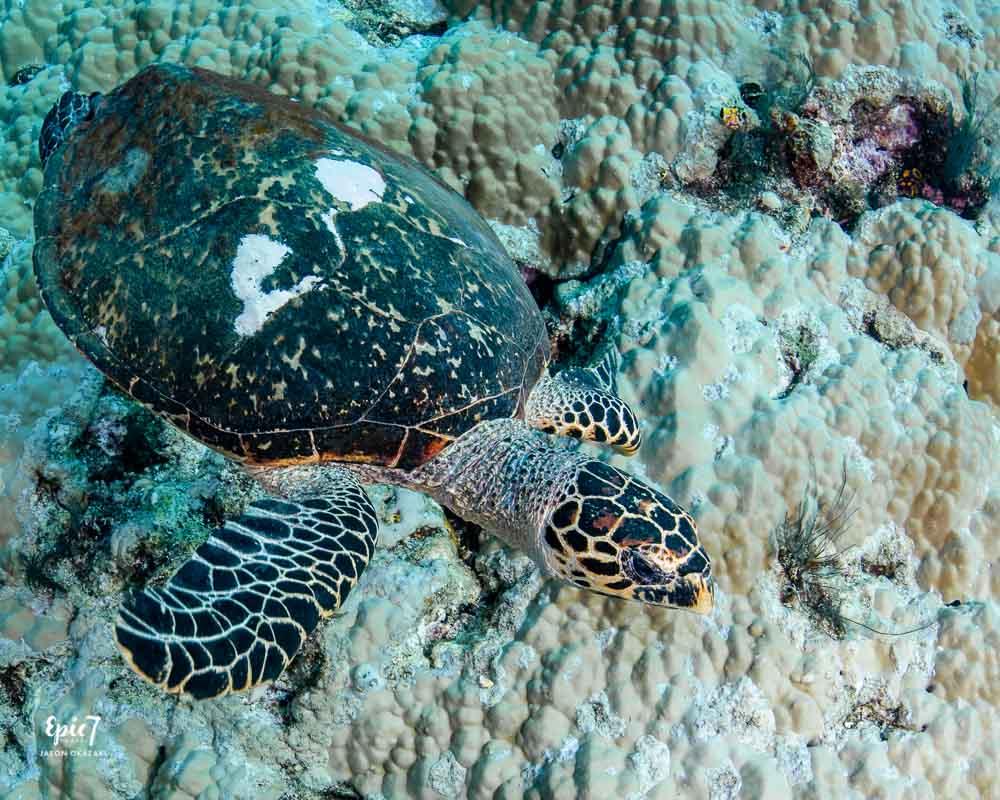 juvenile hawksbill sea turtle raja ampat