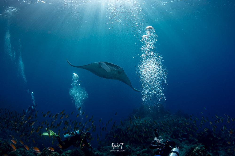 oceanic manta ray swimming above divers raja ampat