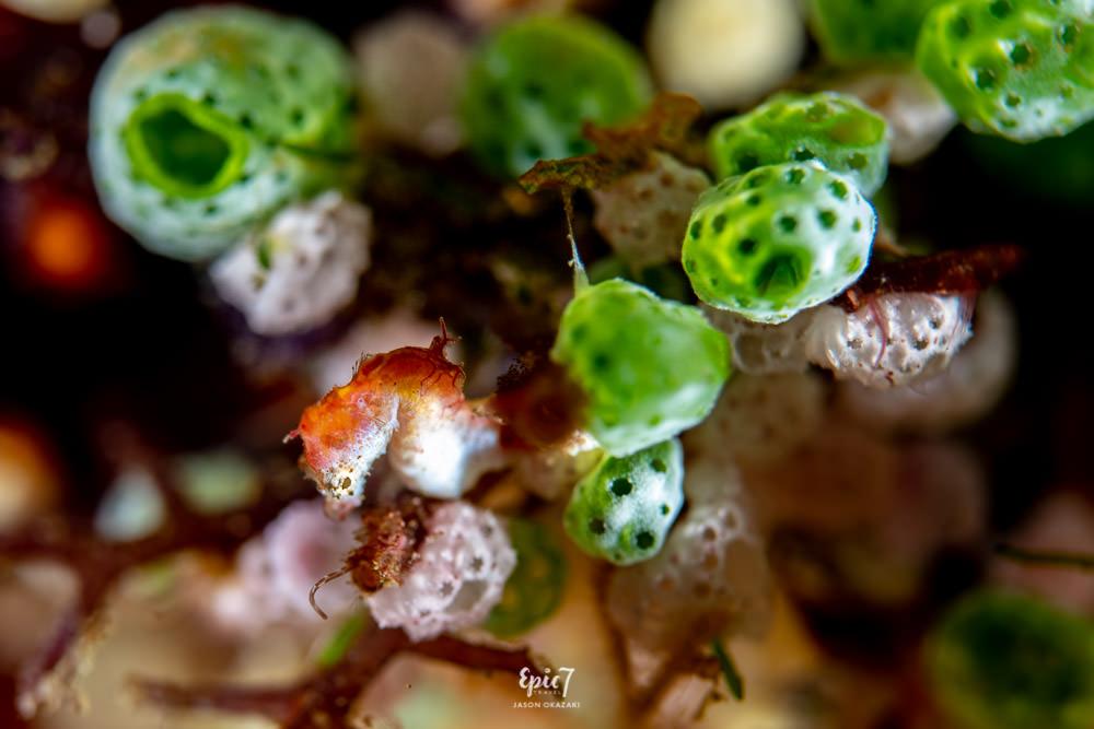 pontohi pygmy seahorse raja ampat diving