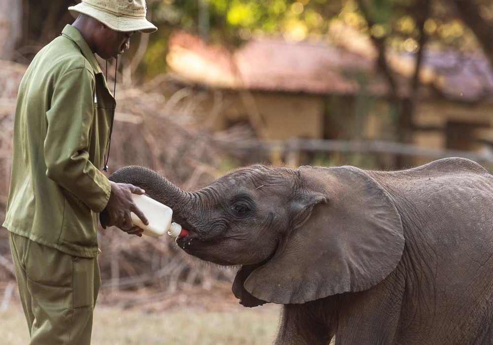 Life Bottle feeding baby elephant