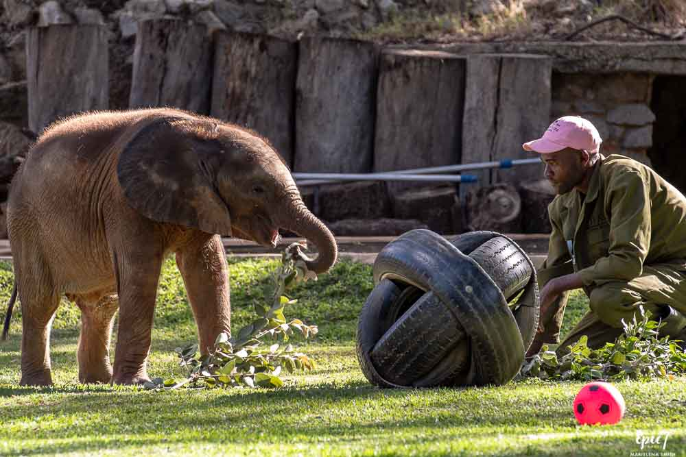 baby elephant eating leaves wild is life