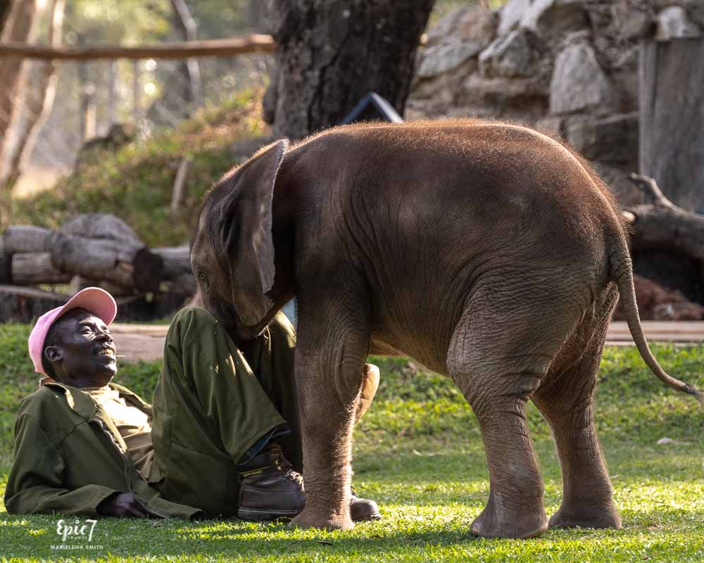 baby elephant leaning between handler's legs wild is life