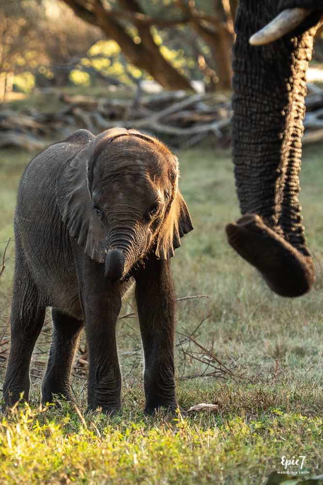 baby elephant standing next to older elephant trunk wild is life