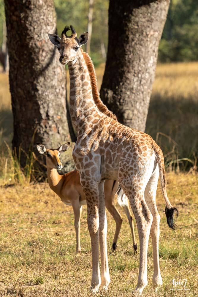 baby giraffe and impala wild is life