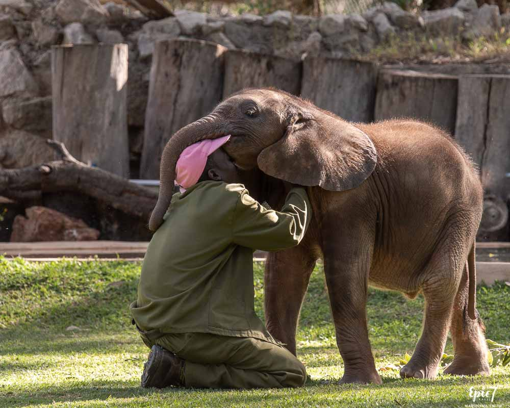 best thing to do in harare baby elephant biting handler's hat wild is life