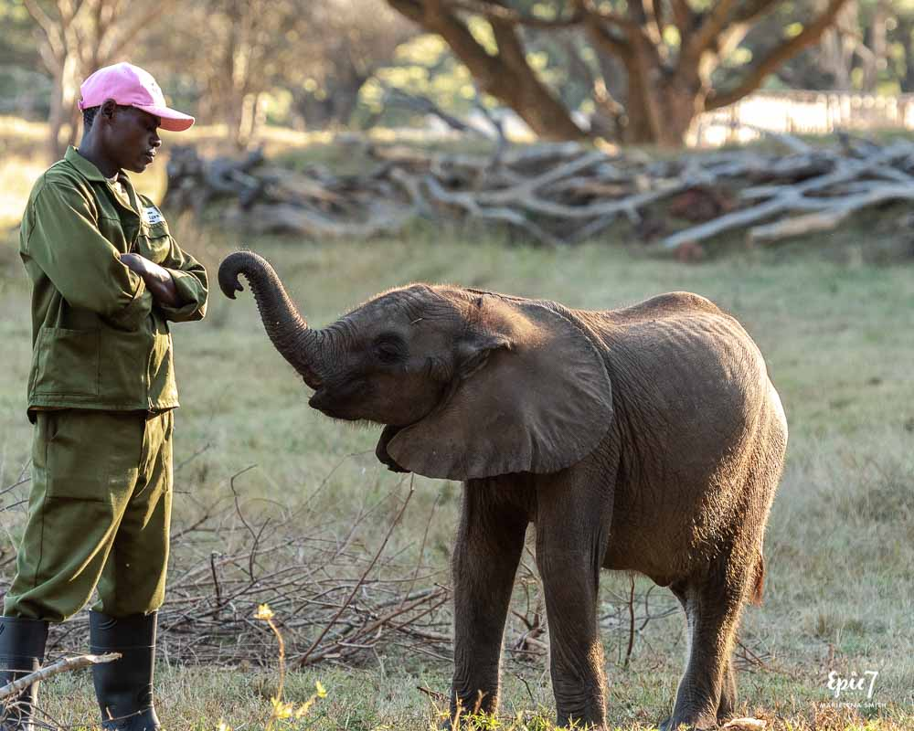 best thing to do in harare baby elephant coco reaching trunk towards handler wild is life