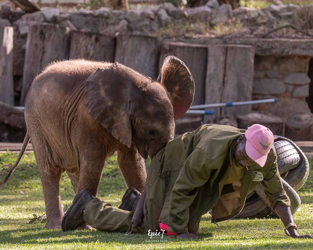 best thing to do in harare baby elephant pushing handler wild is life