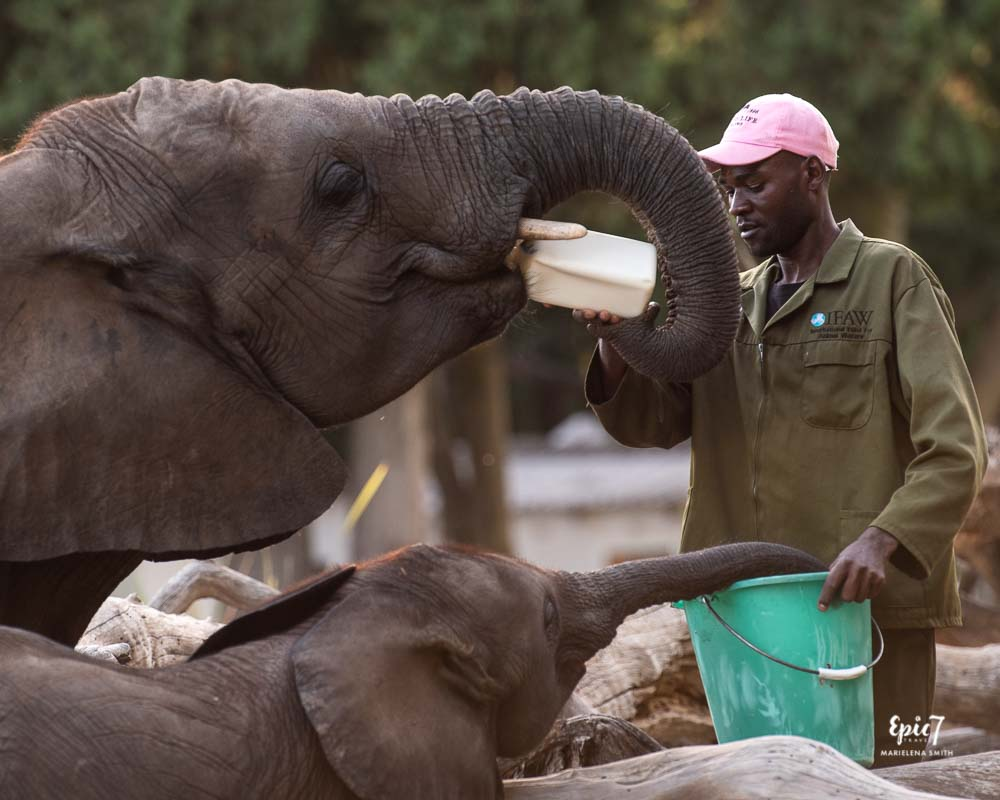 best thing to do in harare bottle feeding elephant and baby wild is life