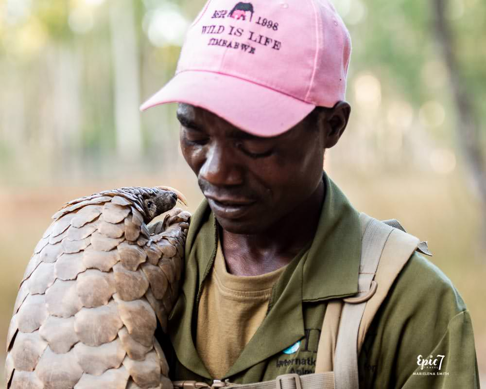 best thing to do in harare pangolin being held by handler wild is life