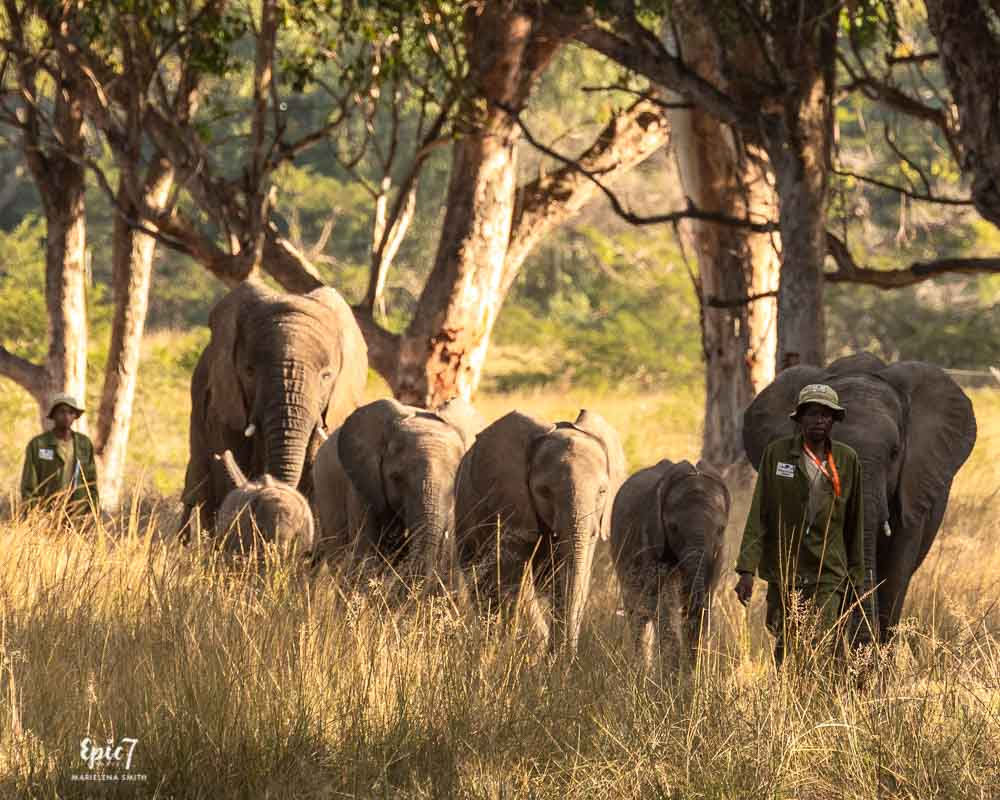 lephant herd and handlers emerging from brush wild is life
