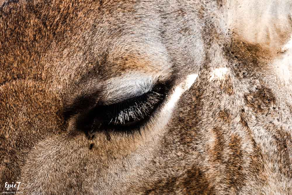 giraffe eyelashes wild is life