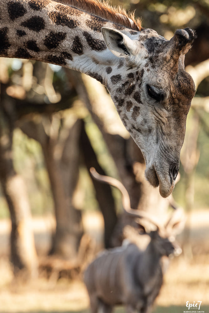 giraffe leaning over male kudu wild is life