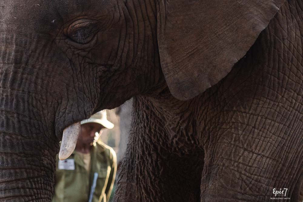 handler framed by elephant trunk and legs wild is life