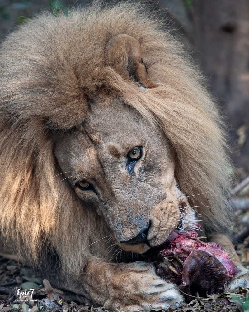 male lion mambo eating wild is life