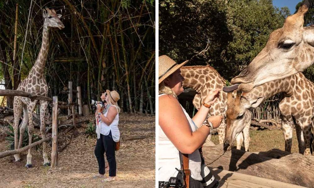 visitor feeding giraffe wild is life