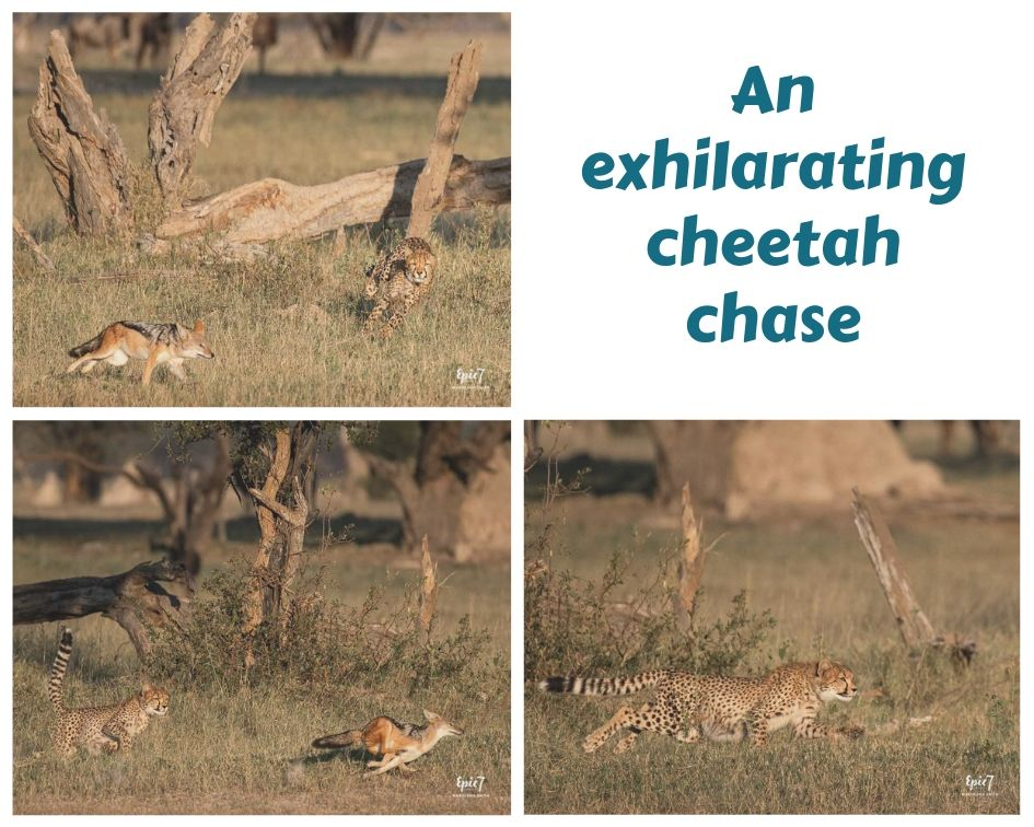 Cheetah cub chasing jackal from its mother's recent kill