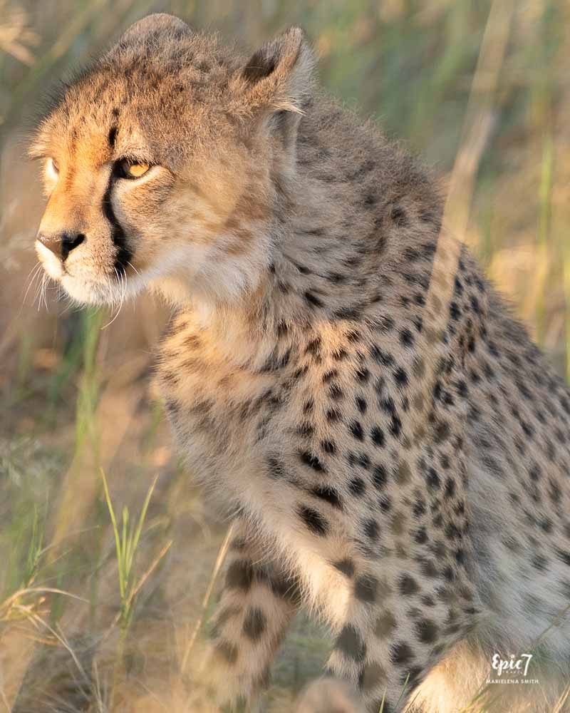 Cheetah cub staring intently