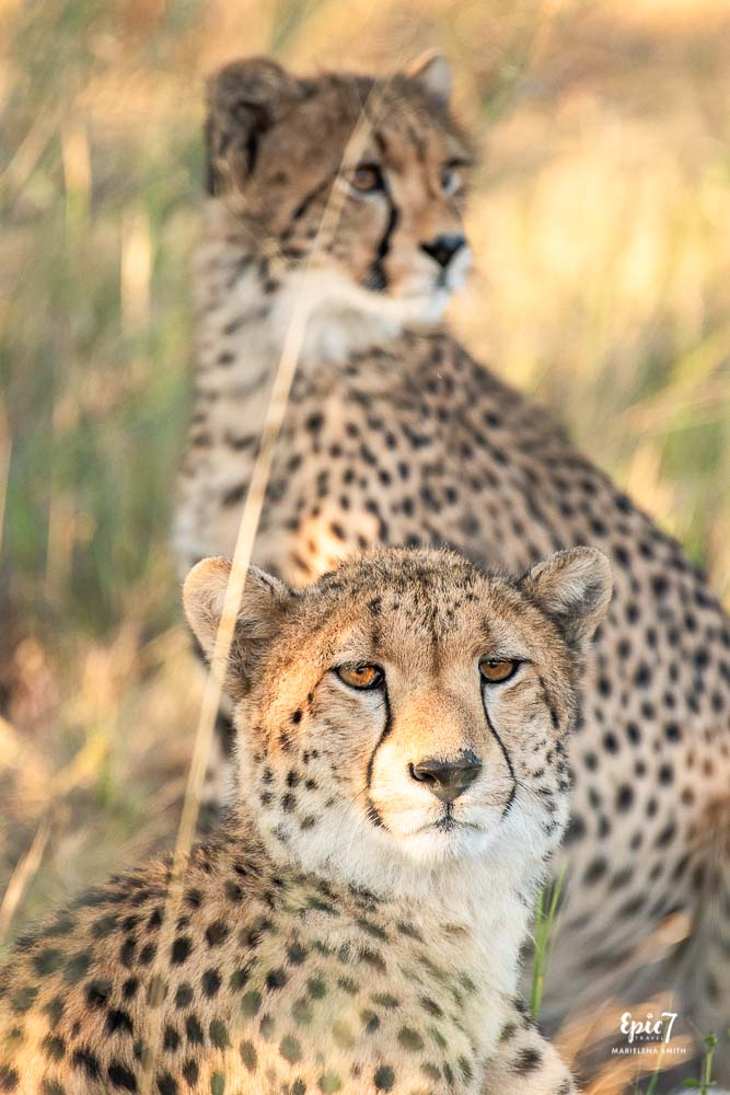Cheetah and twelve month old cub