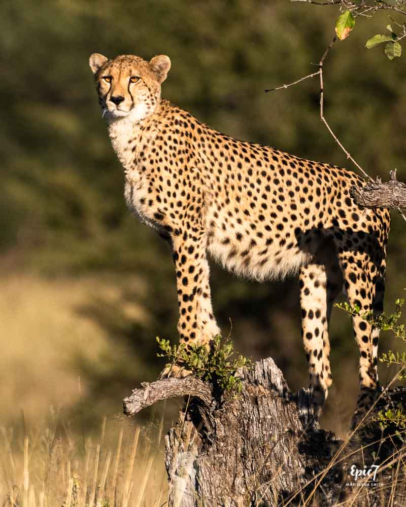 Cheetah surveying landscape for prey