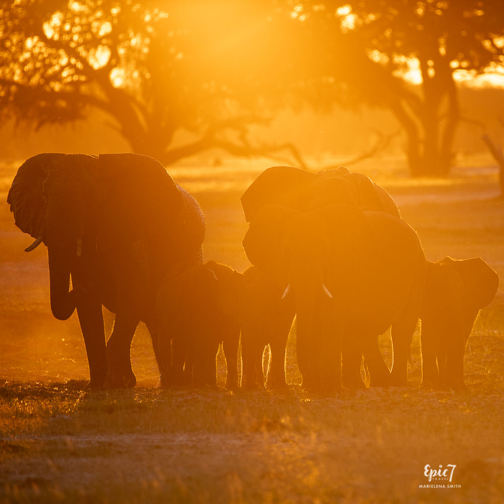 African Safari Animals Elephant Family Silhouetted in golden light