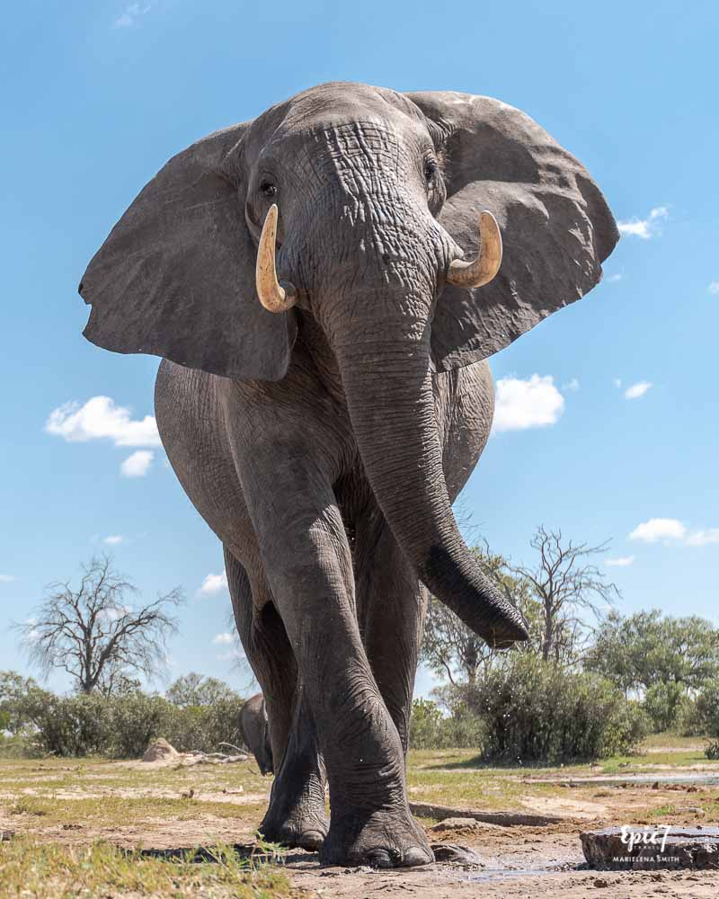 Bull elephant swaggering at watering hole in Hwange National Park, Zimbabwe