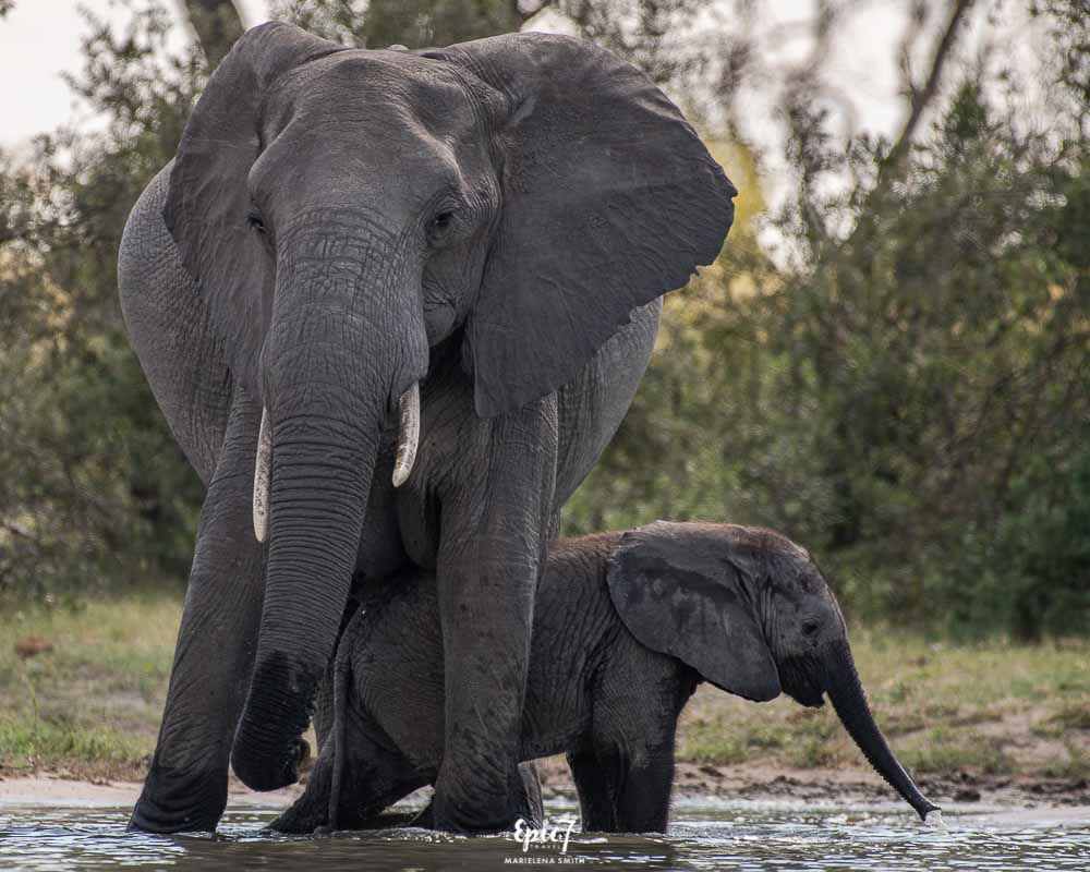 African Safari Elephant calf beneath mum's belly