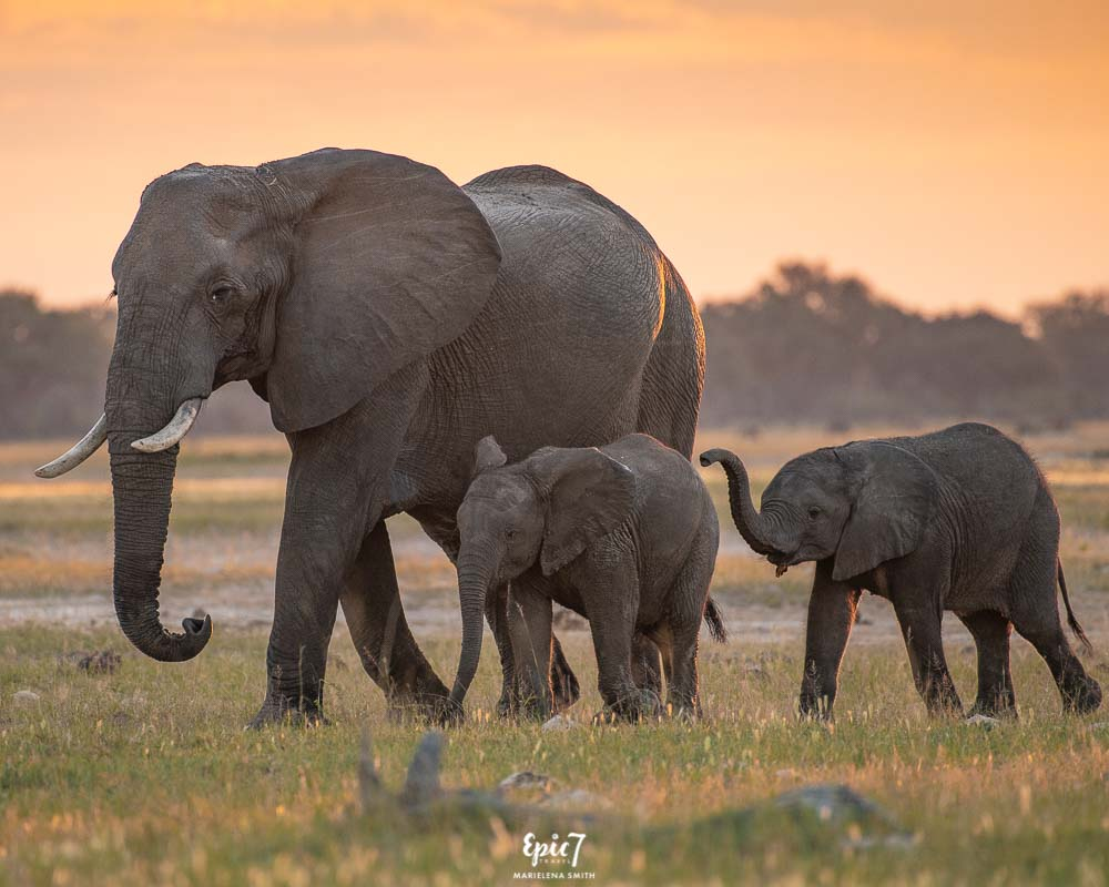 African Safari Animals Elephant procession sunset