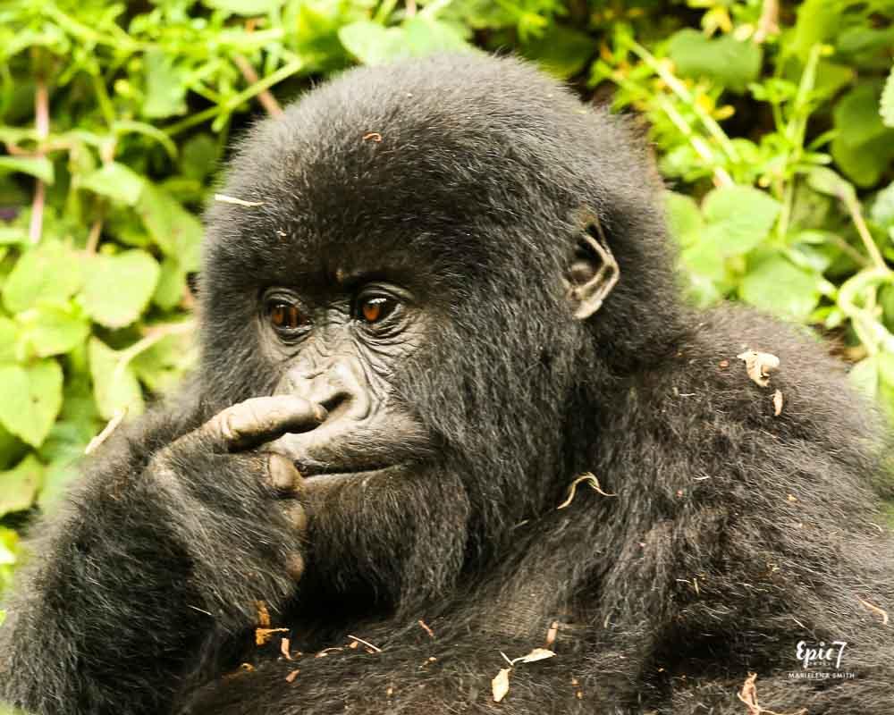 Gorilla baby in Rwanda