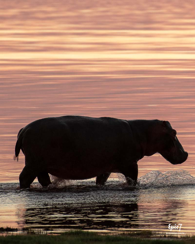 Hippo running into the water at Sunset