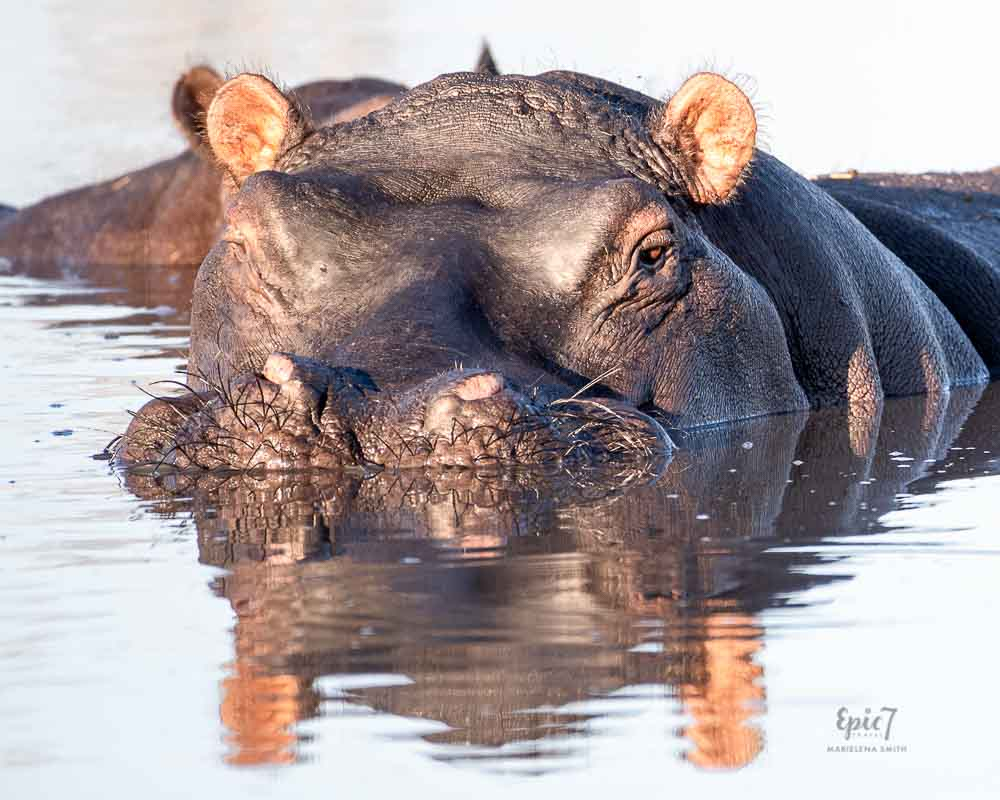 African Safari Animals Hippo and Calf