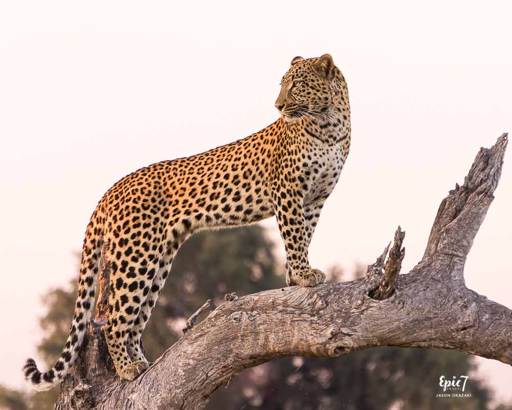 Leopard on a branch to hunt