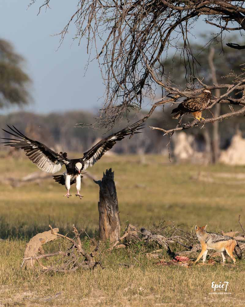 Vulture landing on a kill jackals stole from a cheetah as an eagle looks on