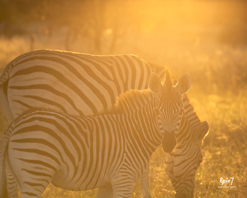 Zebra baby and mum near sunset