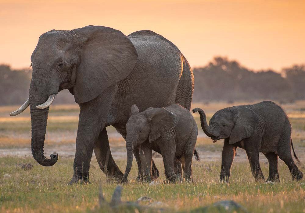 African Safari Animals Pictures Elephant procession sunset