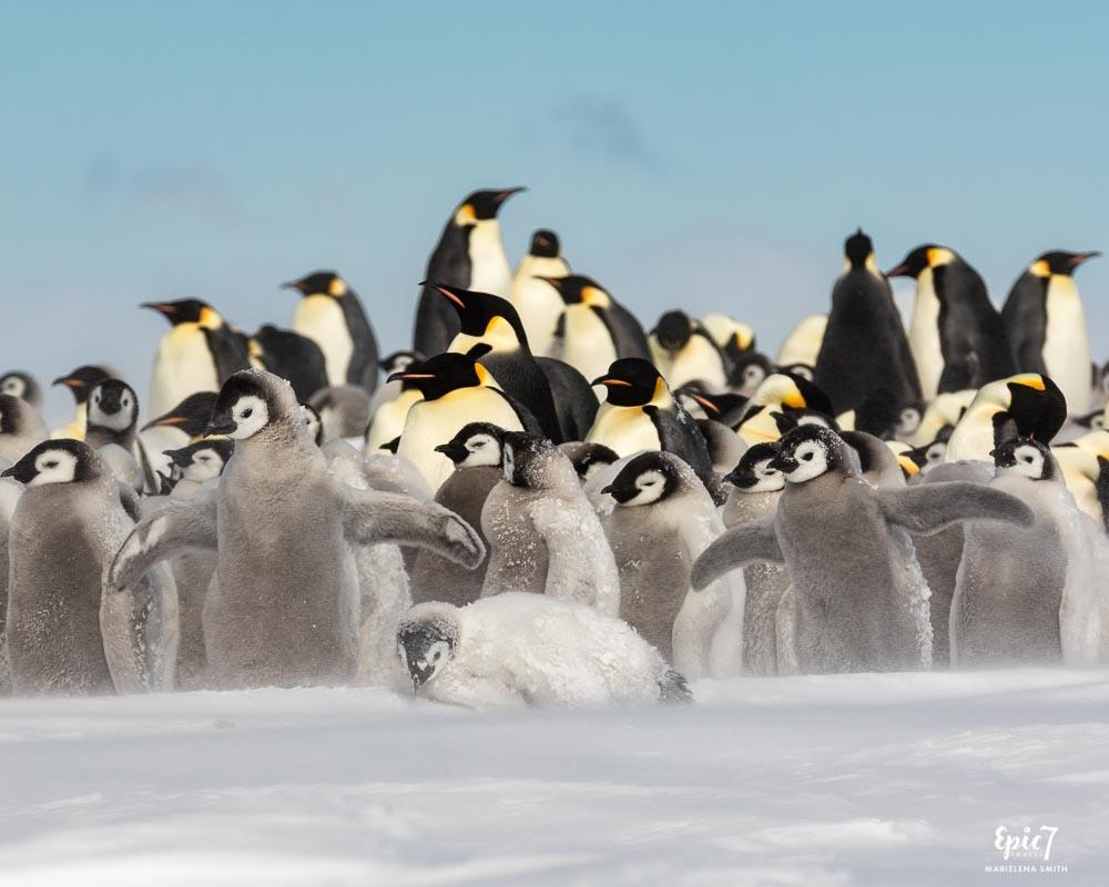 Emperor Penguin Chicks Snow Hill Island Antarctica