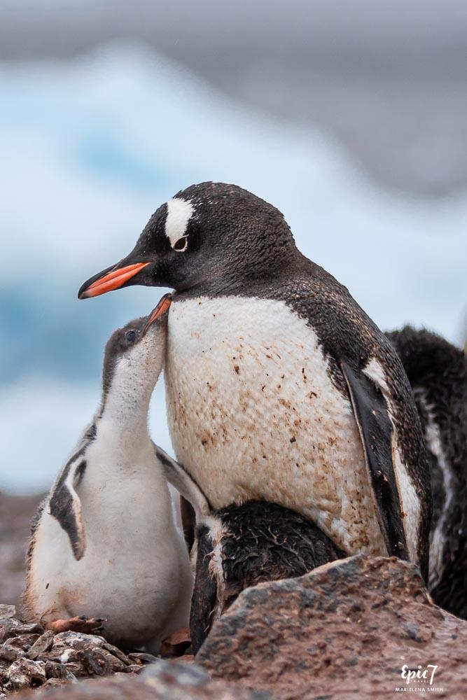 Gentoo Mother and Chick Antarctica