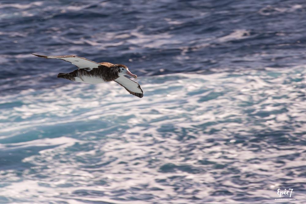 Giant Petrel Drake Passage