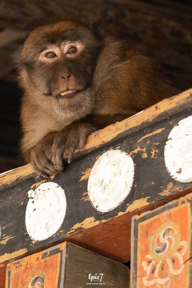 Naughty Monkey Trongsa Dzong