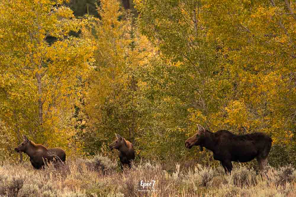 Grand Teton National Park Itinerary Moose with twins