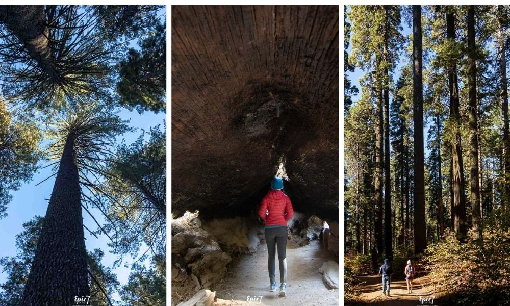 Things to Do in Murphys CA-Calaveras Big Trees State Park