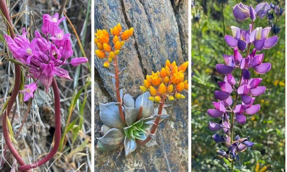 Things to Do Near Yosemite Hites Cove Hike Wildflowers