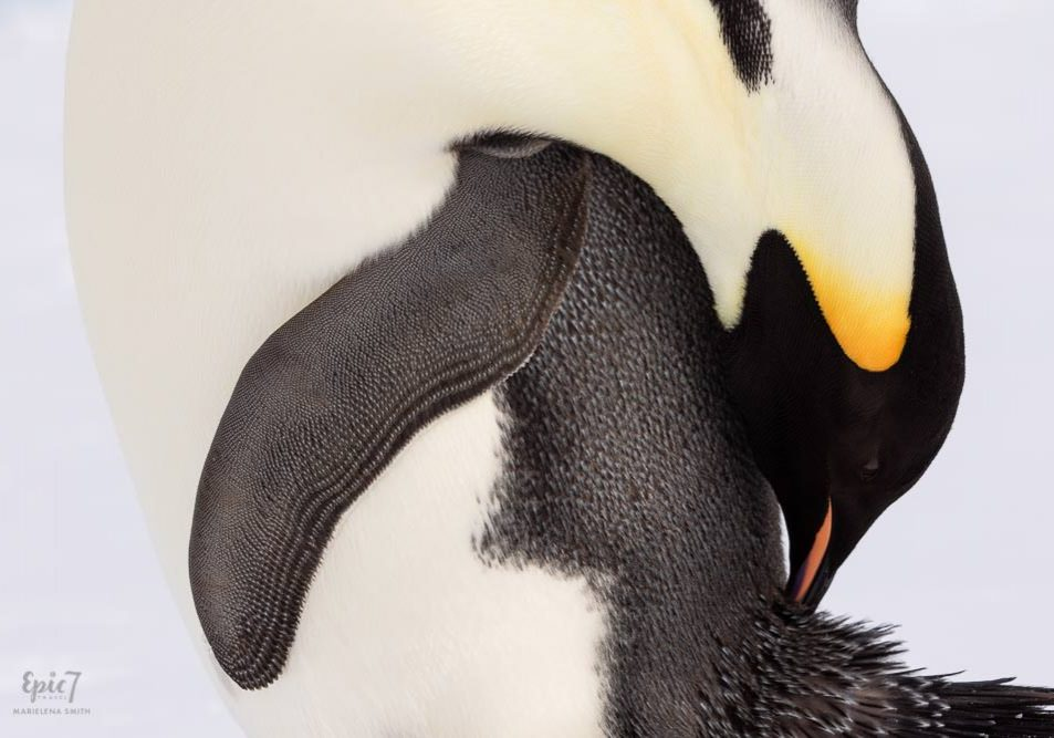 Antarctica Photography Tips_Emperor Penguin Preening